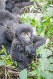 Gorila de montanha do Silverback do bebê no parque nacional de Virunga fotografia de stock