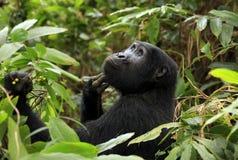 Gorila de montanha em Bwindi imagem de stock