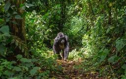 Gorila de montanha na floresta úmida Uganda Bwindi Forest National Park impenetrável foto de stock