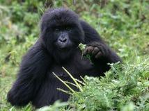Gorila de montanha novo Fotos de Stock Royalty Free