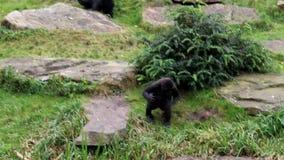 Gorila de pecho-derrota joven almacen de metraje de vídeo
