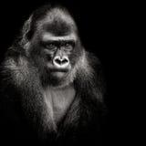 Gorila de planície ocidental Imagens de Stock Royalty Free