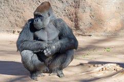 Gorila de planície ocidental fotos de stock royalty free