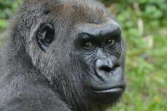 Gorila de planície ocidental, imagem de stock royalty free