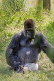 Gorila de planície ocidental de intimidação Imagens de Stock