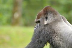 Gorila de planície ocidental (gorila do gorila do gorila) imagens de stock