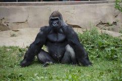 Gorila de planície ocidental no jardim zoológico fotografia de stock royalty free