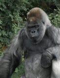 Gorila de planície ocidental que levanta para a câmera fotografia de stock royalty free