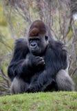 Gorila de planície ocidental que senta-se em um monte imagem de stock