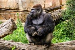 Gorila de planície ocidental que senta-se no log imagem de stock royalty free