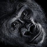 Gorila de planície ocidental V fotos de stock