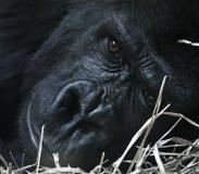 Gorila de reclinación Fotos de archivo libres de regalías