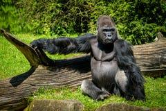 Gorila de reclinación Imagenes de archivo