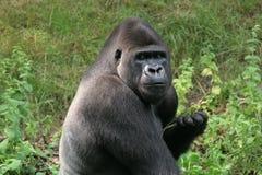 Gorila de Silverback Fotografía de archivo libre de regalías
