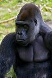 Gorila de Silverback Imagens de Stock