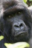 Gorila de Silverback Fotos de archivo