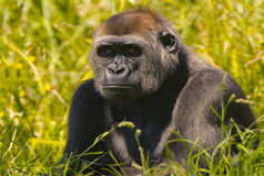 Gorila de Silverback fotografia de stock royalty free
