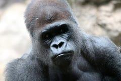 Gorila de Silverback fotos de archivo libres de regalías