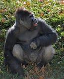 Gorila de tierra baja occidental Fotografía de archivo libre de regalías