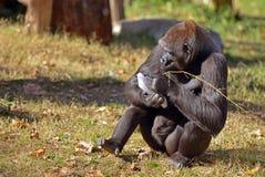 Gorila de tierra baja occidental Fotos de archivo libres de regalías