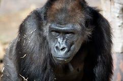 Gorila de tierra baja occidental Foto de archivo
