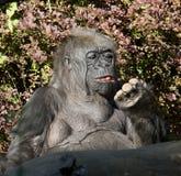 Gorila de tierra baja occidental Imagen de archivo libre de regalías