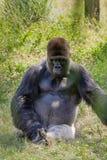 Gorila de tierra baja occidental de intimidación Imagenes de archivo