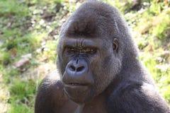 Gorila de tierras bajas occidentales africano imagen de archivo