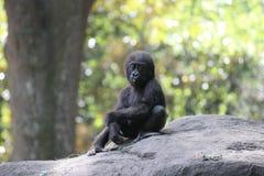 Gorila del bebé Foto de archivo