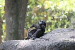 Gorila del bebé Fotografía de archivo libre de regalías