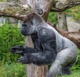 Gorila del Silverback que aplaude y que parece feroz Fotografía de archivo