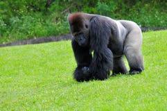 Gorila del Silverback que camina, comiendo Imagenes de archivo