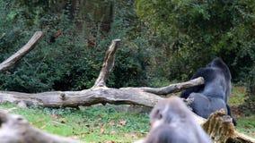 Gorila del silverback que camina y de salto metrajes