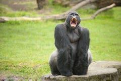 Gorila del Silverback que muestra los dientes Fotografía de archivo libre de regalías