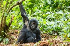Gorila do bebê Fotos de Stock Royalty Free