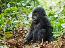 Gorila do bebê Imagem de Stock Royalty Free