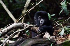 Gorila do bebê imagens de stock