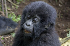 Gorila do bebê Fotografia de Stock Royalty Free