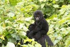 Gorila do bebê na floresta tropical de África Imagem de Stock Royalty Free