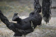 Gorila do bebê que joga em um jardim zoológico foto de stock royalty free