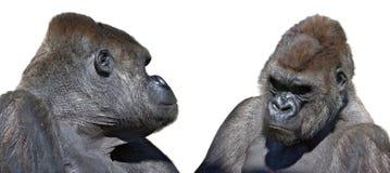 Gorila dois que olha frente a frente Imagens de Stock Royalty Free