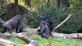 Gorila dominante almacen de metraje de vídeo