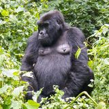 Gorila en el bosque del rainf de Uganda, África Fotografía de archivo libre de regalías