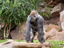 Gorila en el parque de Loro del parque zoológico Fotografía de archivo