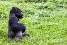 Gorila en el parque zoológico de Ragunan - Jakarta Fotos de archivo