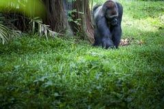 Gorila en el parque zoológico de Ragunan - Jakarta Imágenes de archivo libres de regalías