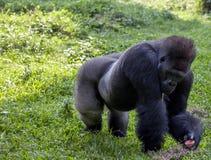 Gorila en el parque zoológico de Ragunan - Jakarta Imagenes de archivo
