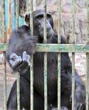Gorila en la jaula Foto de archivo libre de regalías