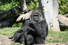 Gorila en los E.E.U.U. Fotografía de archivo libre de regalías