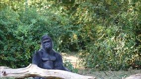 Gorila en naturaleza almacen de video